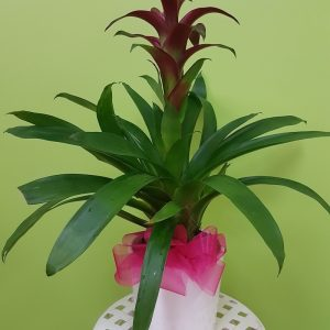 Bromeliad. Away With Flowers. Mundingburra Florist.